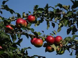 äppelsträd